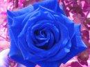 rose-bleu